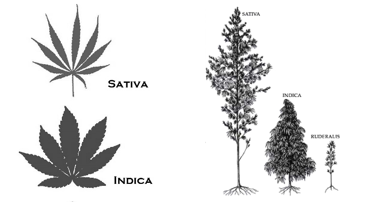 indica-vs-sativa-leaves&plants